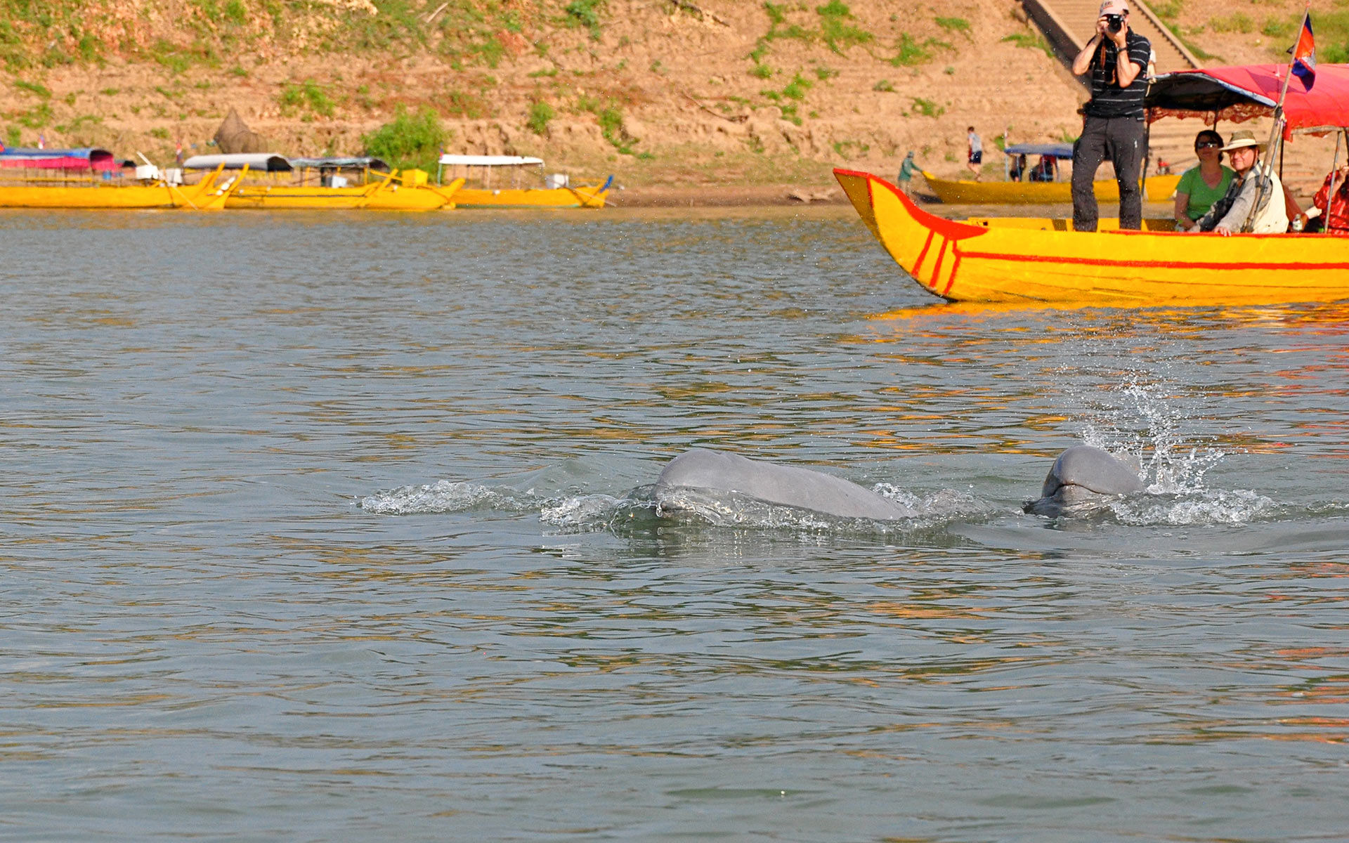 Dolphin in irrawaddy river