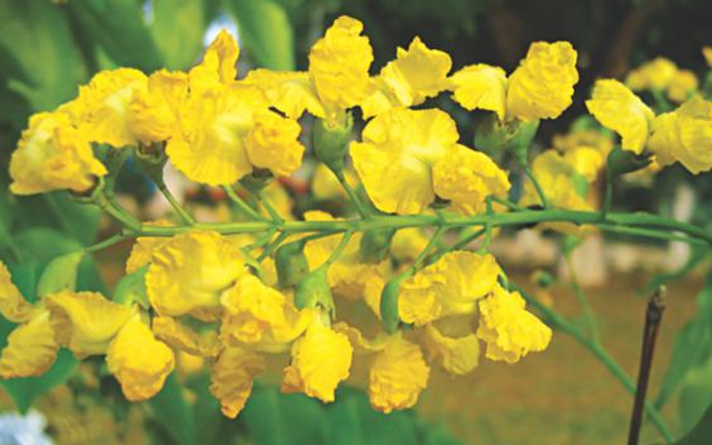 National Flowers of Myanmar