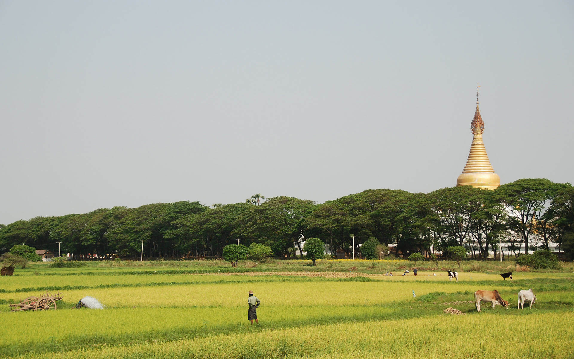 Rice in Irrawaddy